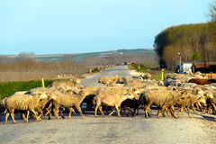 Group of sheep crossing the road in countryside of Edirne Turkey Stock Images