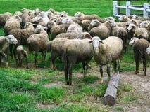 Group of sheep Royalty Free Stock Image
