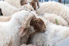 Group of sheep while eating stock images