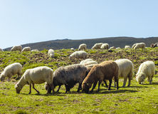Group of sheep eating grass on meadow Stock Photography