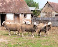 Group of sheep Stock Photo