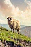 Group of sheep Stock Image