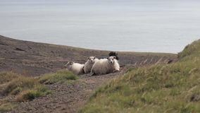 Group of sheep in field in Iceland stock video