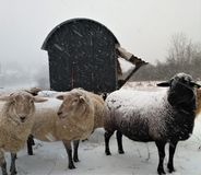 Group of sheep in front of trailer outside in the snow royalty free stock image