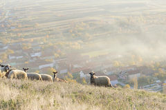 Group of sheep and goats grazing grass above the village Stock Photo