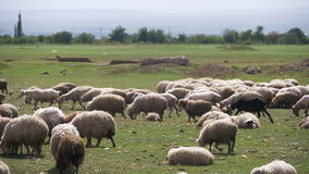 Group of Sheep Grazing in the Field. Slow Motion stock video footage