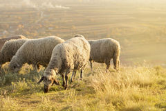 Group of sheep grazing grass on a beautiful field Royalty Free Stock Images