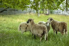 Sheep in a green meadow Royalty Free Stock Image