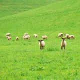 Group of sheep on a green pasture Stock Images
