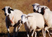 A Group of sheep. At grazing ground in autumn royalty free stock image