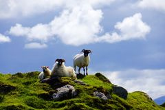 Group of Sheep in the Highlands in Scotland. Green mountain in the Highlands of Scotland with a group of sheep Royalty Free Stock Images