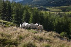 Group of sheep in a hill in the Highlands of Scotland. In the United Kingdom Stock Photo
