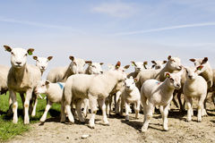 Group of sheep and lambs Royalty Free Stock Images