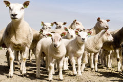 Group of sheep and lambs Stock Images