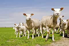 Group of sheep and lambs Royalty Free Stock Image