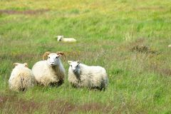 Group of sheep on a meadow in Iceland. Group of cute sheep on a meadow in Iceland stock images