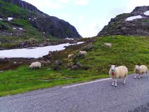Group sheep in mountains, Norway Stock Photos
