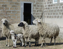 Group of sheep with a newborn lamb Royalty Free Stock Images