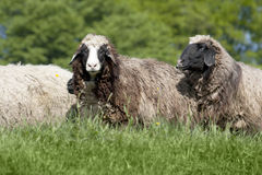Group of sheep (ovis aries) Royalty Free Stock Image