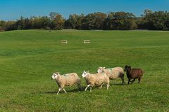 Group of Sheep Ovis aries Run With Field and Course in Backgro. Und - at sheep dog herding trials Royalty Free Stock Images