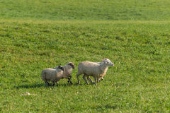 Group of Sheep Ovis aries Run Right Royalty Free Stock Photography