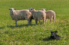 Group of Sheep Ovis aries Watched Closely by Stock Dog Royalty Free Stock Image