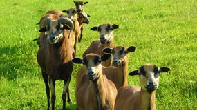 Group of sheep on pasture royalty free stock photos