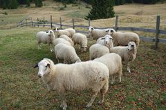 Group of Sheep. On a Pasture in Mountain Royalty Free Stock Images