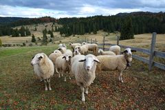 Group of Sheep. On a Pasture in Mountain Stock Photos