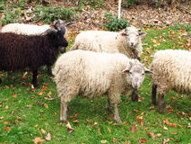 Group of sheep Stock Photography