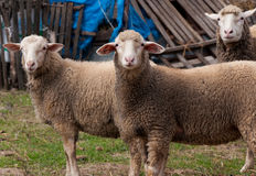 Group of sheep Stock Images