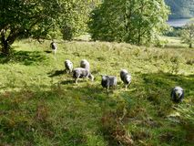 Group of sheep, some looking to camera Stock Images