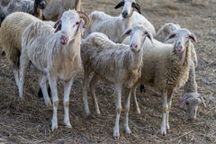 Group of sheep standing together. Looking off the camera. Selective Focus royalty free stock images