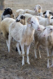 Group of sheep standing together. Looking off the camera. Selective Focus royalty free stock photo
