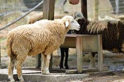 Group of sheep Royalty Free Stock Photos