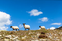 Group of sheep in Swiss alps royalty free stock photo