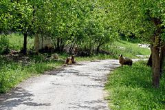 A group of sheep taking shade from the hot Turkish sun underneath the green leafed tree`s. A group of white sheep have strayed on to the narrow country lane that stock photography