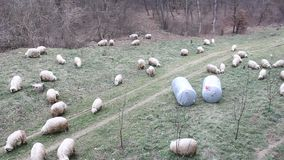 Group of sheep to pasture stock video