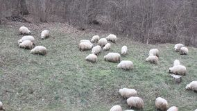 Group of sheep to pasture