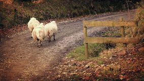 Group Of Sheep Walking Up Dirt Road In Afternoon stock video footage