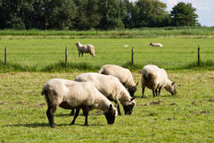 Group of sheeps. Over green grass stock image