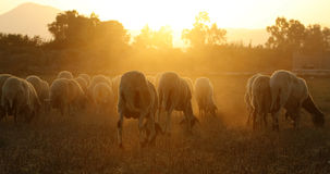 Group with sheeps. A beautiful sheep group  late in the aftrenoon Stock Photos