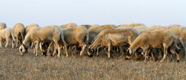 Group with sheeps. A beautiful sheep group  late in the aftrenoon Stock Images