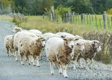 Group of Sheeps at Los Lagos District, Chile. Group of sheeps at field environment at patagonia chilean territory stock photography