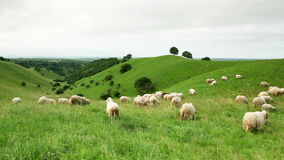 Group of sheeps grazing in the field stock footage