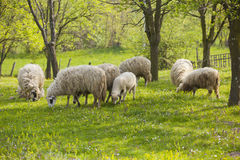 Group of sheeps and lambs on green field Stock Photos