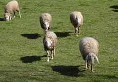Group of sheeps and lambs on green field Royalty Free Stock Photo