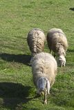 Group of sheeps and lambs on green field Royalty Free Stock Photography