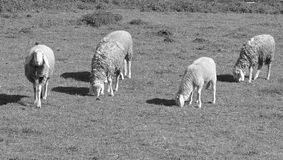 Group of sheeps and lambs on green field Stock Photo