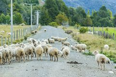 Group of Sheeps at Los Lagos District, Chile. Group of sheeps at field environment at patagonia chilean territory stock image